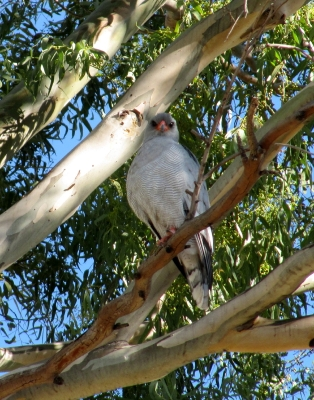 Pale Chanting Goshawk 18May 2014 Garlic House Smithfield